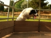 Kennel club: Australian Shines