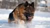 Kennel club: German Shepherd Dog