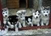 sjkcoco - Dogzer dog breeder