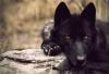 vihuff - Dogzer dog breeder