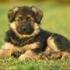 agapegrace - Dogzer dog breeder
