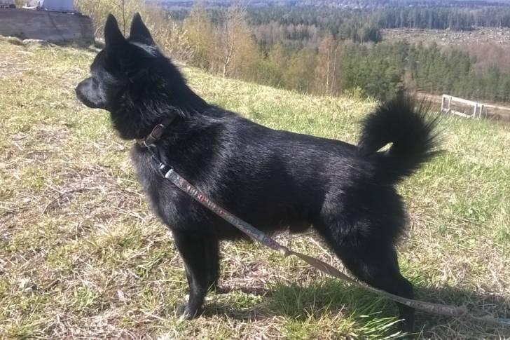 Zippo - Male Schipperke (2 years)