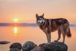 Alaskan Malamute picture