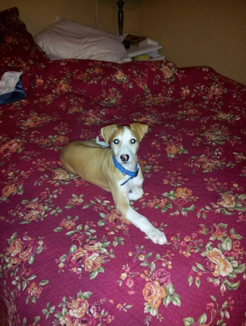 Atticus (8 weeks old): Whippet Dog