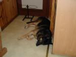 berger allemand ourak de la ferme sauvage - German Shepherd Dog