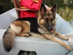 Berger Allemand poils 1/2 longs - Cayenne - German Shepherd Dog