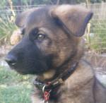 Dog Kaden - German Shepherd Dog Male (2 months)