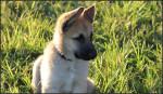 Dog  - German Shepherd Dog  (Has just been born)