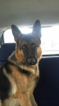 Jara - German Shepherd Dog (4 years)