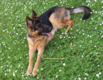 Nougat - Male German Shepherd Dog (1 year and 9 months)