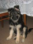 Abbey(pup) - German Shepherd Dog (2 months)