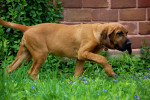 Dog  - Bloodhound  (Has just been born)