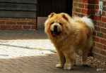 Chow Chow picture