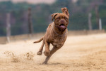 Bordeaux Mastiff picture