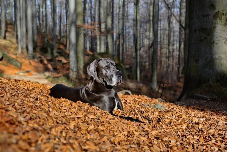Great Dane picture