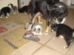 farha et nelly(2 ans) - Australian Shepherd (2 months)