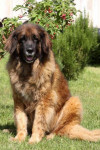 Providence 11 ans - Leonberger (11 years)