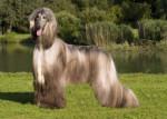 Dog Yannick Lévrier Afghan - Afghan Hound  (Has just been born)