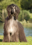 Dog Naomi - Afghan Hound  (Has just been born)