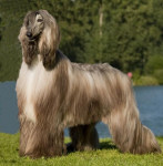 Dog Yannick - Afghan Hound  (Has just been born)