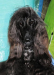 Dog Esthelle belle chienne Lévrier Afghan - Afghan Hound  (Has just been born)