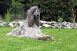 Dog Beau Lévrier Afghan : Yannick - Afghan Hound  (Has just been born)