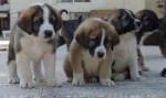 Dog Lusi,Lusón,Lula y Lulo - Spanish Mastiff  (1 month)
