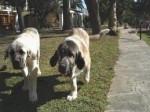 Dog Roco y Roca - Spanish Mastiff  (9 years)