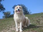 Dog Tara - Spanish Mastiff Female (2 years)