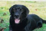 Dog mon toutou - Spanish Mastiff Male (10 years)