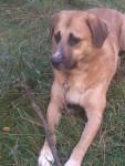 Dog Mika - Spanish Mastiff Male (4 months)