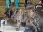 Dog matin espagnol joselito mastibe - Spanish Mastiff  (Has just been born)
