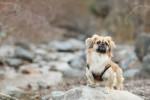 Pekingese picture