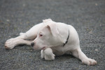 Dog  - Dogo Argentino  (Has just been born)