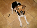 Sniffy - Jack Russell (4 years)