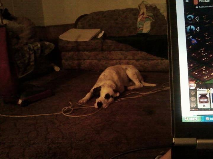 Max - Male American bulldog (2 years)
