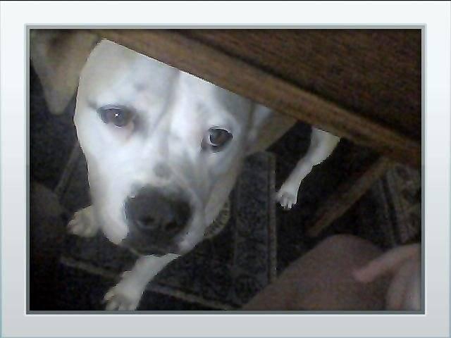 nova - American bulldog (9 months)