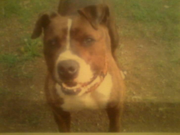 Ryder - Male American bulldog (3 years)