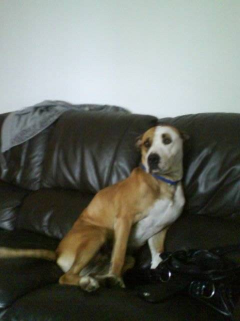 daisy - American bulldog (2 years)
