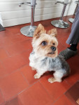 Moustick - Yorkshire Terrier (3 years and 3 months)