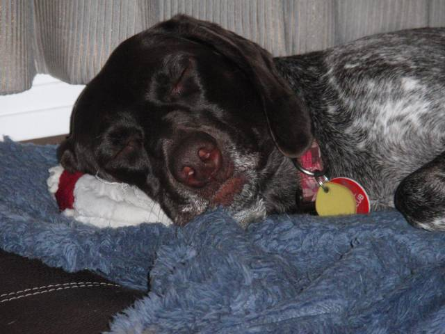 lady - German shorthaired pointer (4 years)