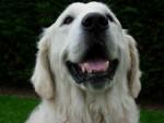 Lasie - Golden Retriever (3 years)