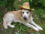 Dog charlie notre bébé!!! - Golden Retriever  (0 months)