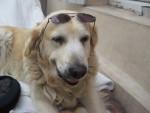 Dog charlie la star - Golden Retriever  (0 months)