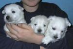 Westie Dream Story - Male West Highland White Terrier