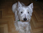 Pégase - West Highland White Terrier