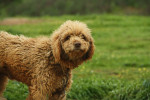 Spanish Water Dog picture