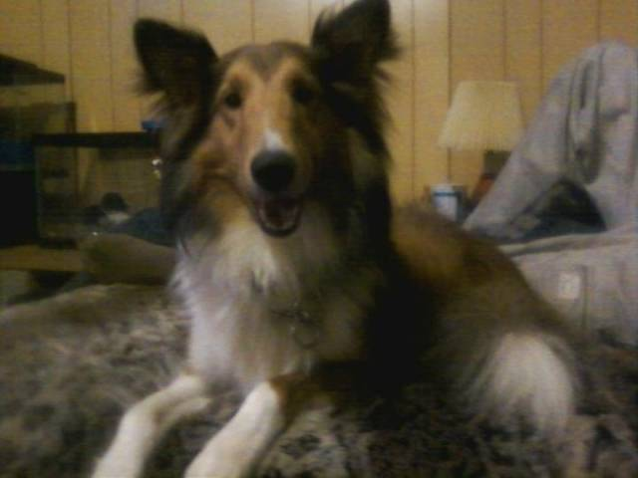 Champ - Male Shetland Sheepdog (3 years)