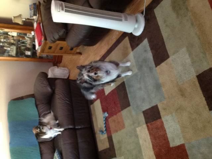 Nina - Shetland Sheepdog (2 years)