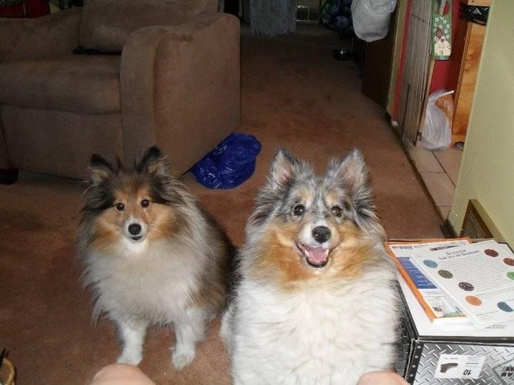 shortie & spenc - Male Shetland Sheepdog (3 years)